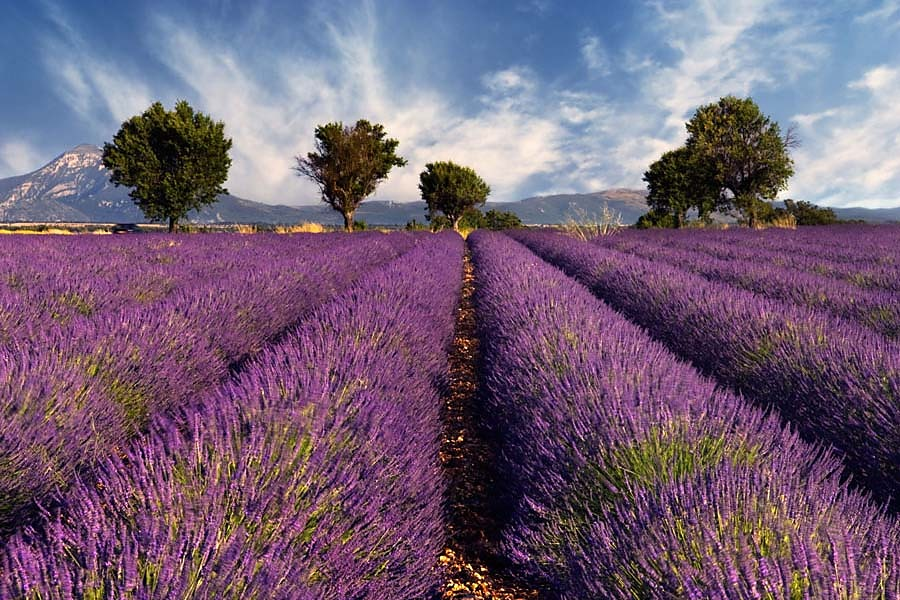 Fototapeta_Levanduľové_pole__-_Provence_Francúzsko_3210.jpg.large